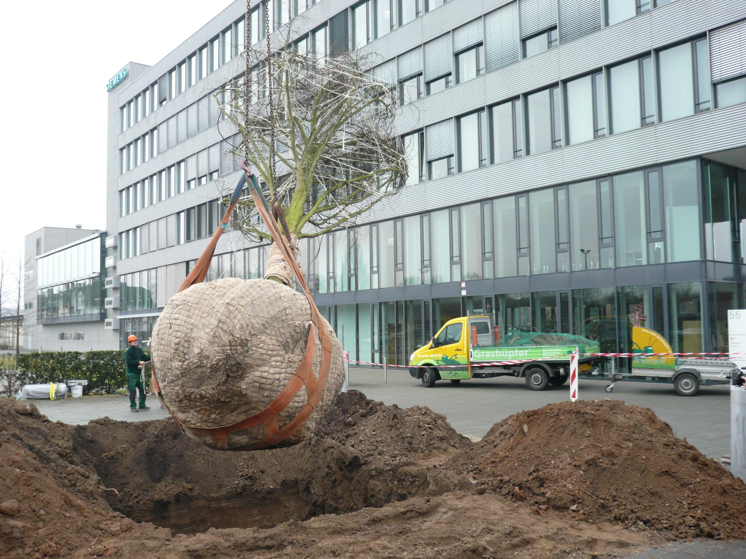 Großbaumpflanzung bei Siemens in Krefeld Uerdingen