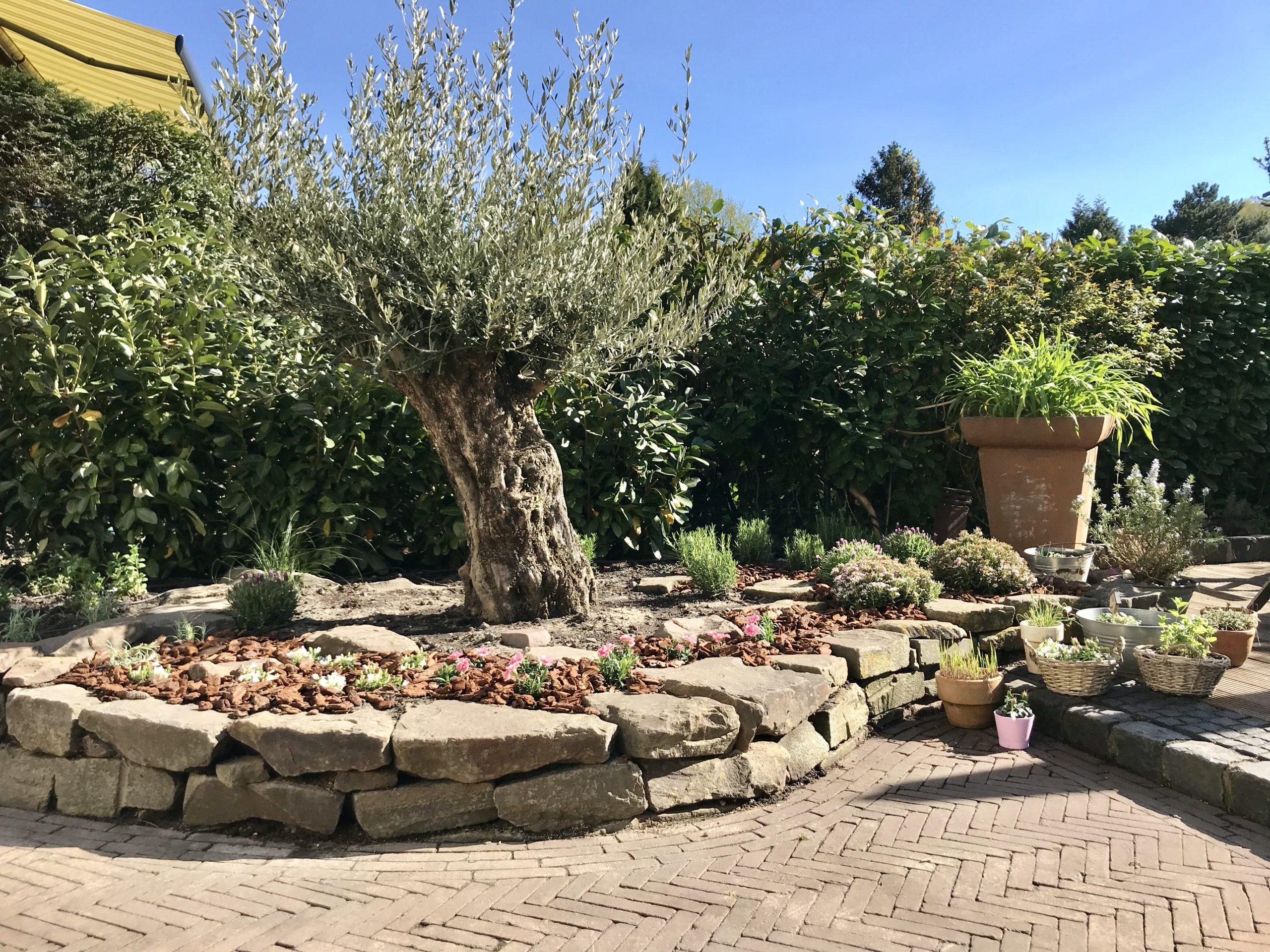 Hochbeettrockensteinmauer mit Olive (3)